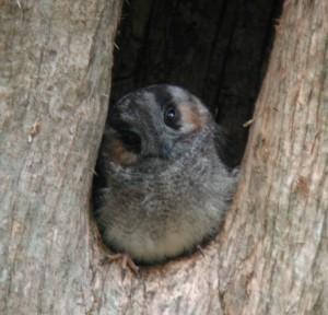 Owlet-Nightjar