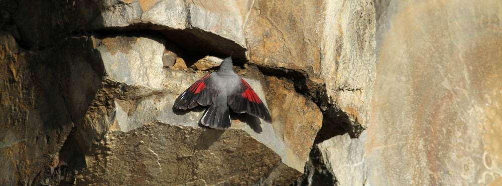 wallcreeper_3317_1000